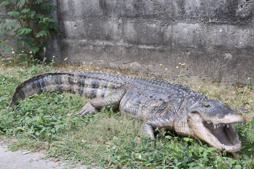 American Alligator 8ft.