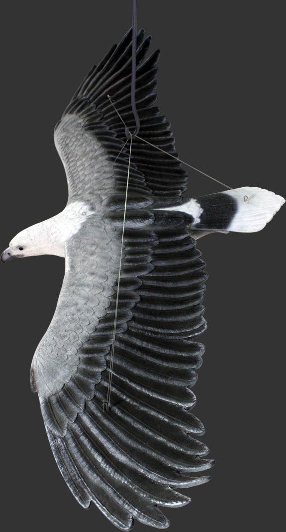 White Breasted Sea-Eagle Flying / Fiberglass